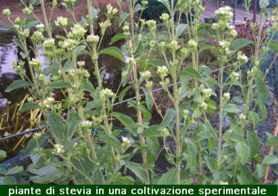 Stevia pianta che fa dolce la vita for Stevia pianta
