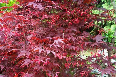 Acero rosso per montagna forum di for Acero rosso canadese prezzo
